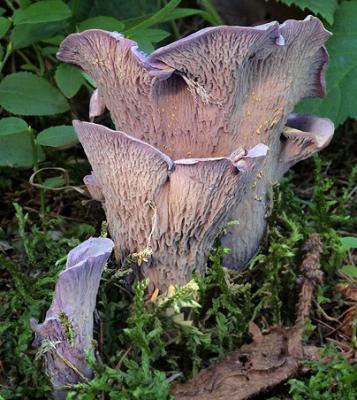 Chanterelle violette