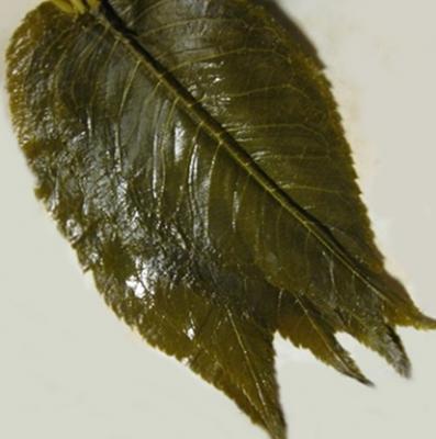 Sakura feuilles
